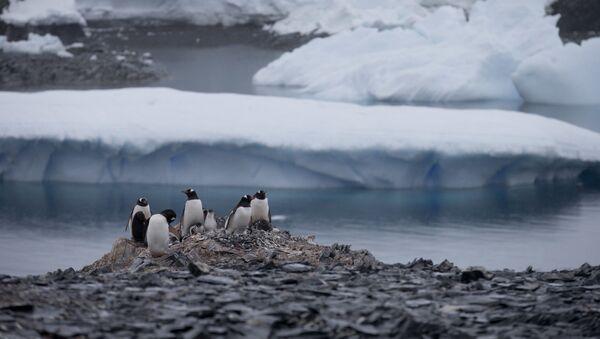 Unos pingüinos sobre las rocas en la península antártica - Sputnik Mundo