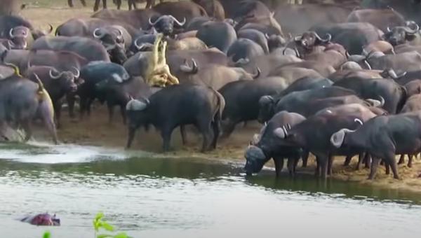 Una manada de búfalos pisotea y lanza al aire a una leona hasta matarla - Sputnik Mundo