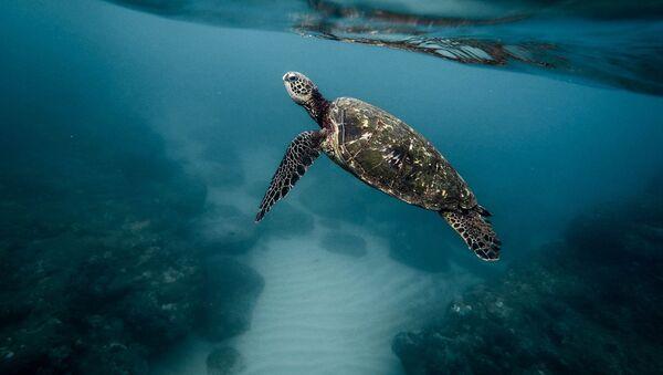 Una tortuga marina (imagen referencial) - Sputnik Mundo