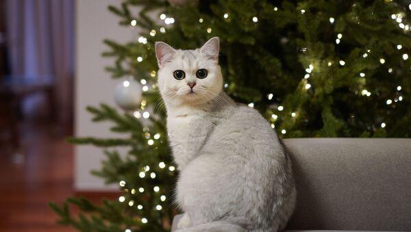 Un gato y un árbol de navidad al fondo - Sputnik Mundo