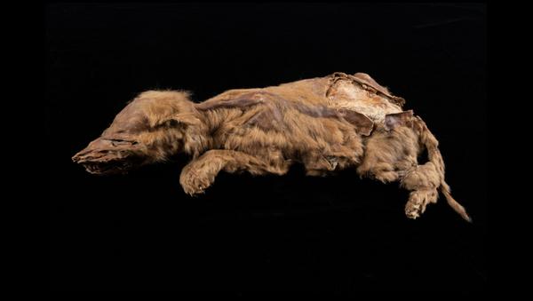 El lobo momificado hallado en Yukón - Sputnik Mundo