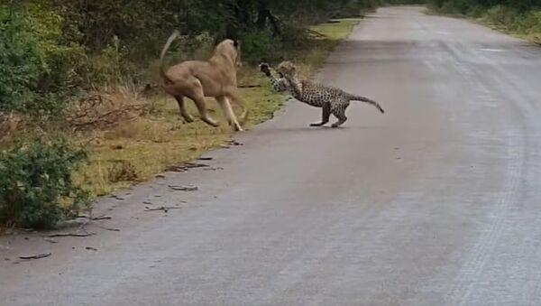 Una leona ataca a un leopardo - Sputnik Mundo