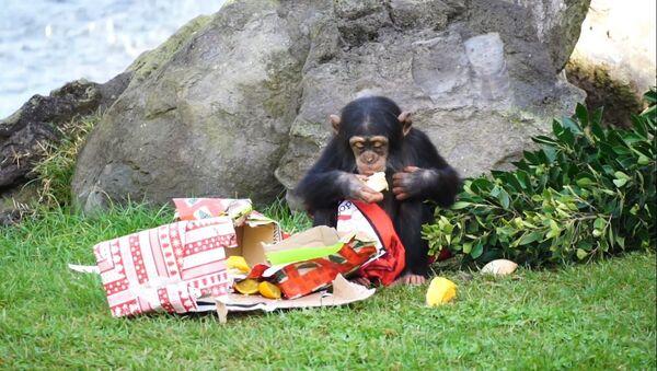 Los animales de un zoo de España disfrutan de los regalos de Papá Noel - Sputnik Mundo