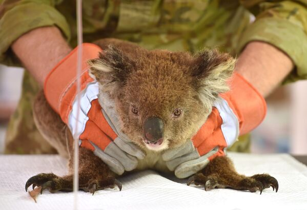 En enero Australia también sufrió incendios de una envergadura sin precedentes. El fuego y la sequía destruyeron la mitad de las áreas verdes. Más de 1.000 millones de animales murieron. En la foto: un koala afectado por los incendios forestales recibe tratamiento en un parque de vida silvestre en la isla Canguro. - Sputnik Mundo