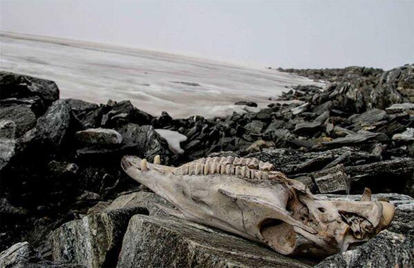 En Noruega el derretimiento del glaciar Lendbreen reveló al mundo unos antiguos artefactos de los vikingos de 1.500 años. Entre los hallazgos estaba el cráneo de un caballo que ayudaba a transportar cargas a través de un paso, que se utilizaba por los comerciantes y viajeros entre los siglos 3 y 14 d.C., y, más tarde, después de la epidemia de peste de los años 1300, fue abandonado. - Sputnik Mundo