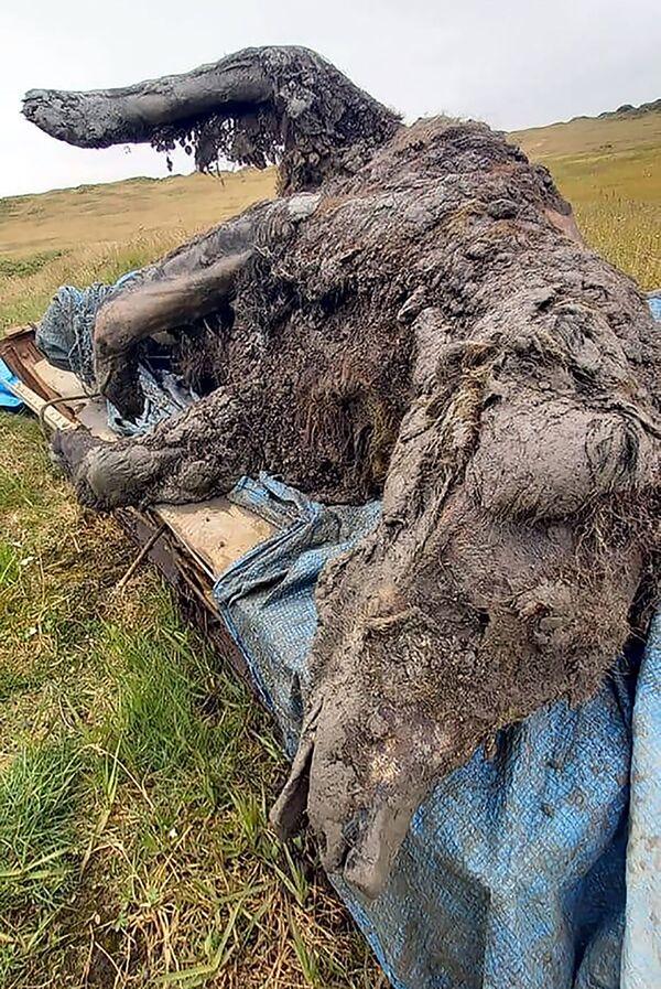 En el territorio de las islas de Liajov, en Yakutia, los pastores de renos encontraron en el 'permafrost' un cadáver del extinto oso de las cavernas, cuya edad puede ser de hasta 39.000 años. Este hallazgo es único: por primera vez, los científicos localizaron un cadáver casi entero, que incluso conserva órganos internos. - Sputnik Mundo