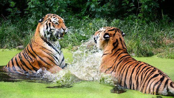 Tigres en el agua - Sputnik Mundo