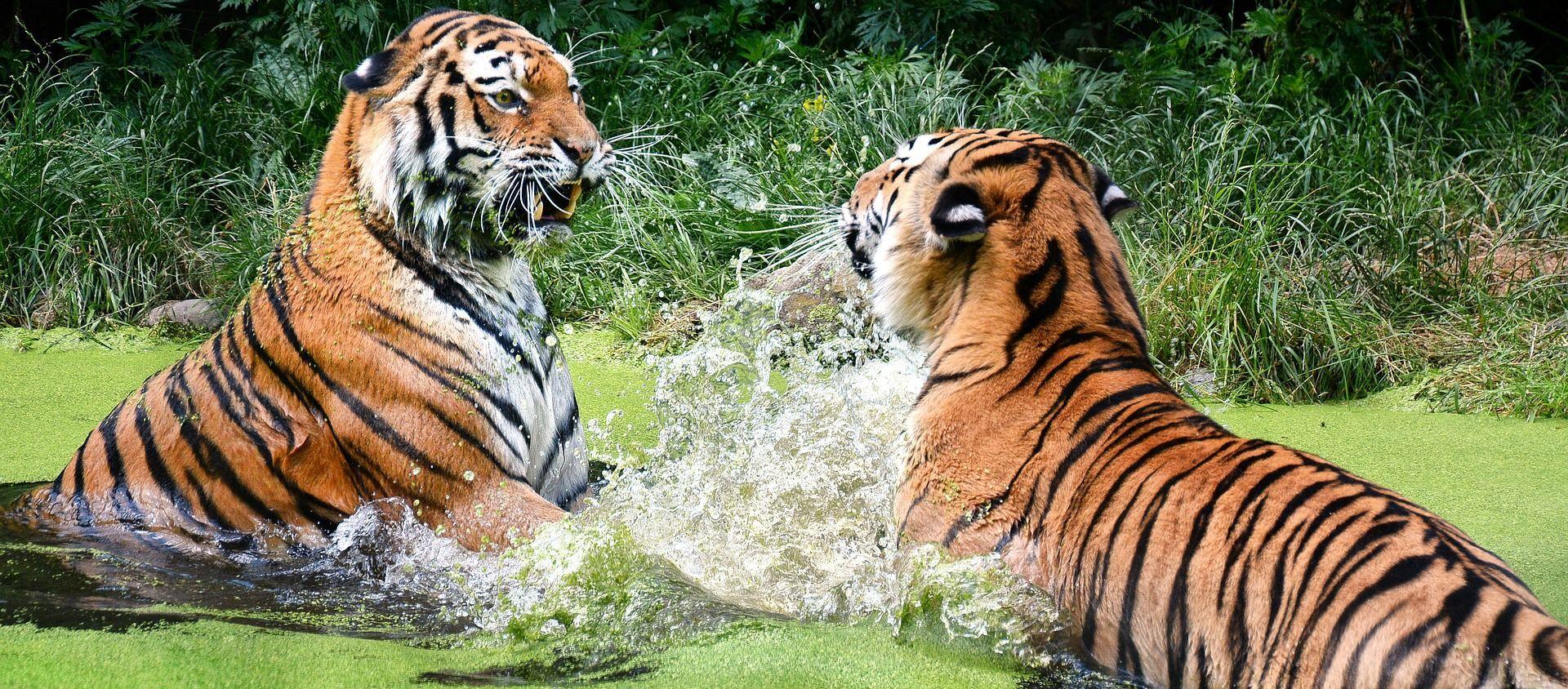 Tigres en el agua - Sputnik Mundo, 1920, 31.12.2020