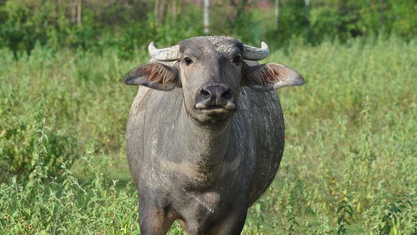 Un búfalo (imagen referencial) - Sputnik Mundo