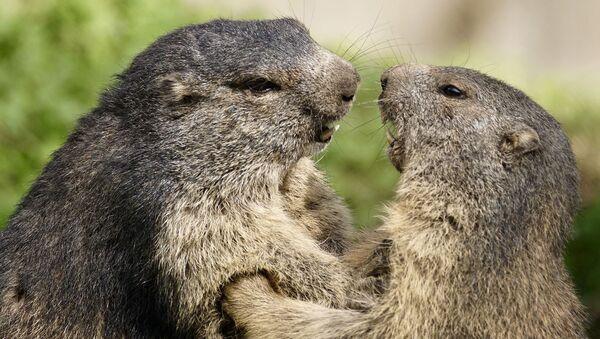 Dos marmotas (imagen referencial) - Sputnik Mundo