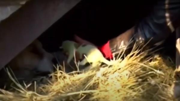 Grinch, un cachorro verde, nace en Georgia en la víspera de Año Nuevo - Sputnik Mundo