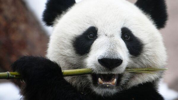 Un panda de un zoológico ruso - Sputnik Mundo