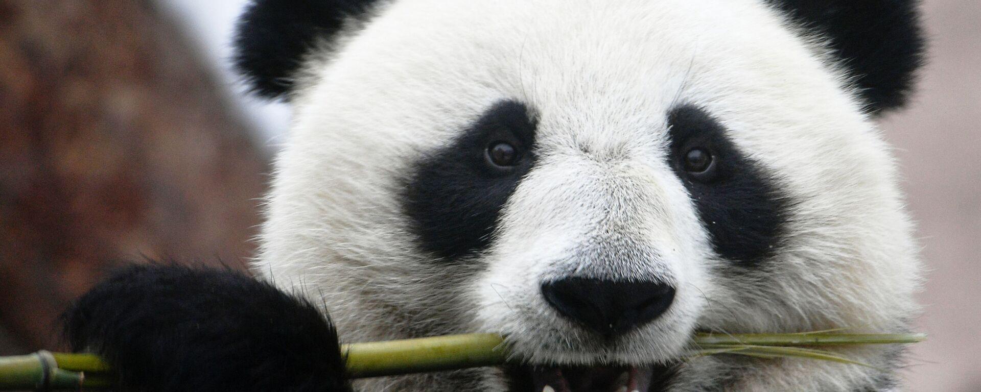 Un panda de un zoológico ruso - Sputnik Mundo, 1920, 09.07.2021