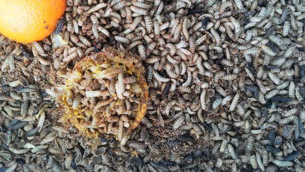 Unas larvas de mosca soldado negra (Hermetia illucens) - Sputnik Mundo