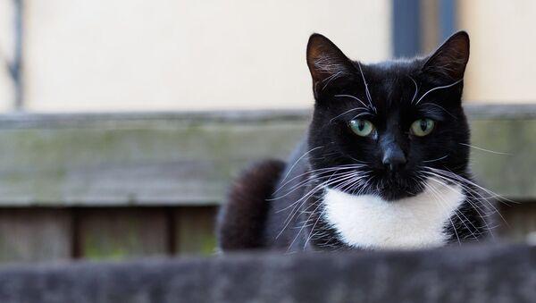 Un gato (foto referencial) - Sputnik Mundo