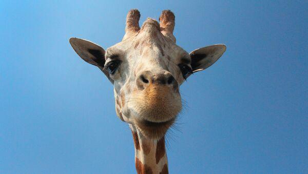 Una jirafa - Sputnik Mundo