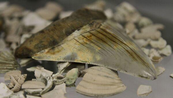 El diente fosilizado de un megalodón - Sputnik Mundo