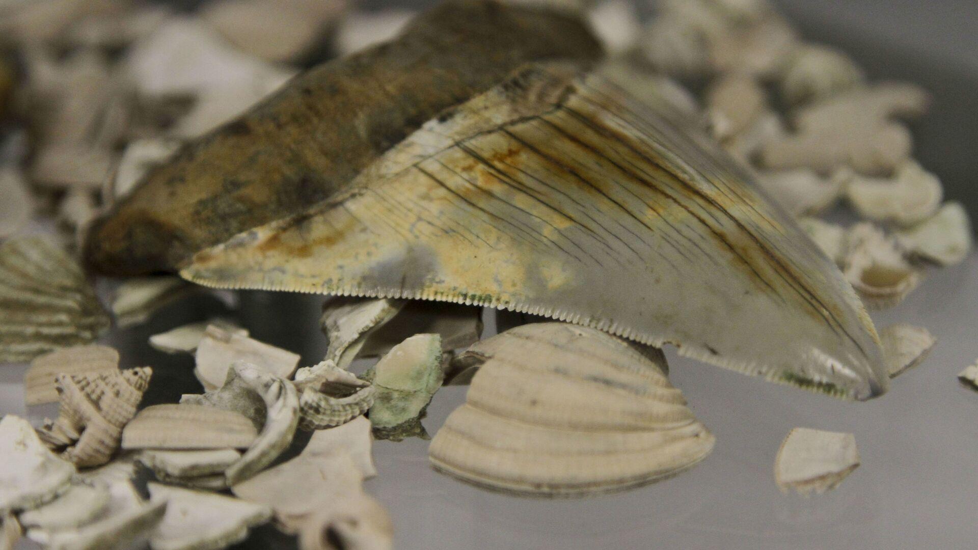 El diente fosilizado de un megalodón - Sputnik Mundo, 1920, 10.06.2021