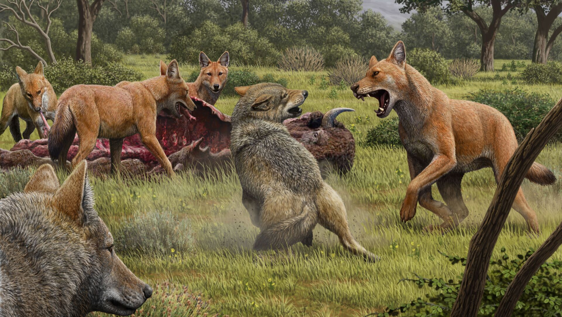 Una manada de lobos terribles (Canis dirus) se alimenta mientras que unos lobos grises se acercan para compartir la comida - Sputnik Mundo, 1920, 15.01.2021