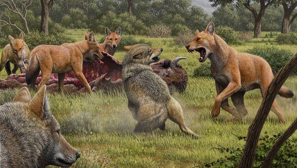Una manada de lobos terribles (Canis dirus) se alimenta mientras que unos lobos grises se acercan para compartir la comida - Sputnik Mundo