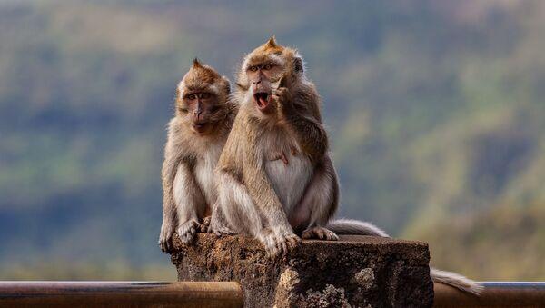 Dos macacos - Sputnik Mundo