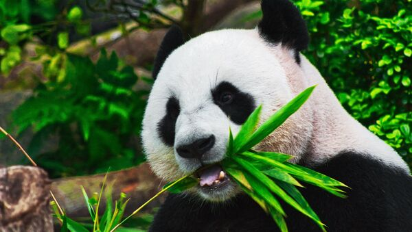 Un oso panda (archivo) - Sputnik Mundo