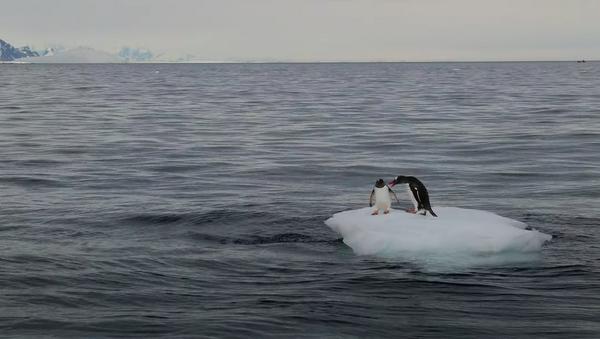 Dos pingüinos pelean por un témpano de hielo - Sputnik Mundo