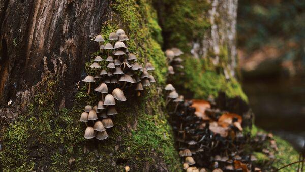 Unos hongos en el tronco de un árbol - Sputnik Mundo