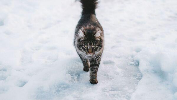 Un gato en la nieve (archivo) - Sputnik Mundo