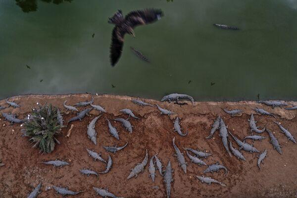 Decenas de cocodrilos en una granja abandonada en el valle del río Jordán, cerca del pueblo israelí de Petzael. - Sputnik Mundo
