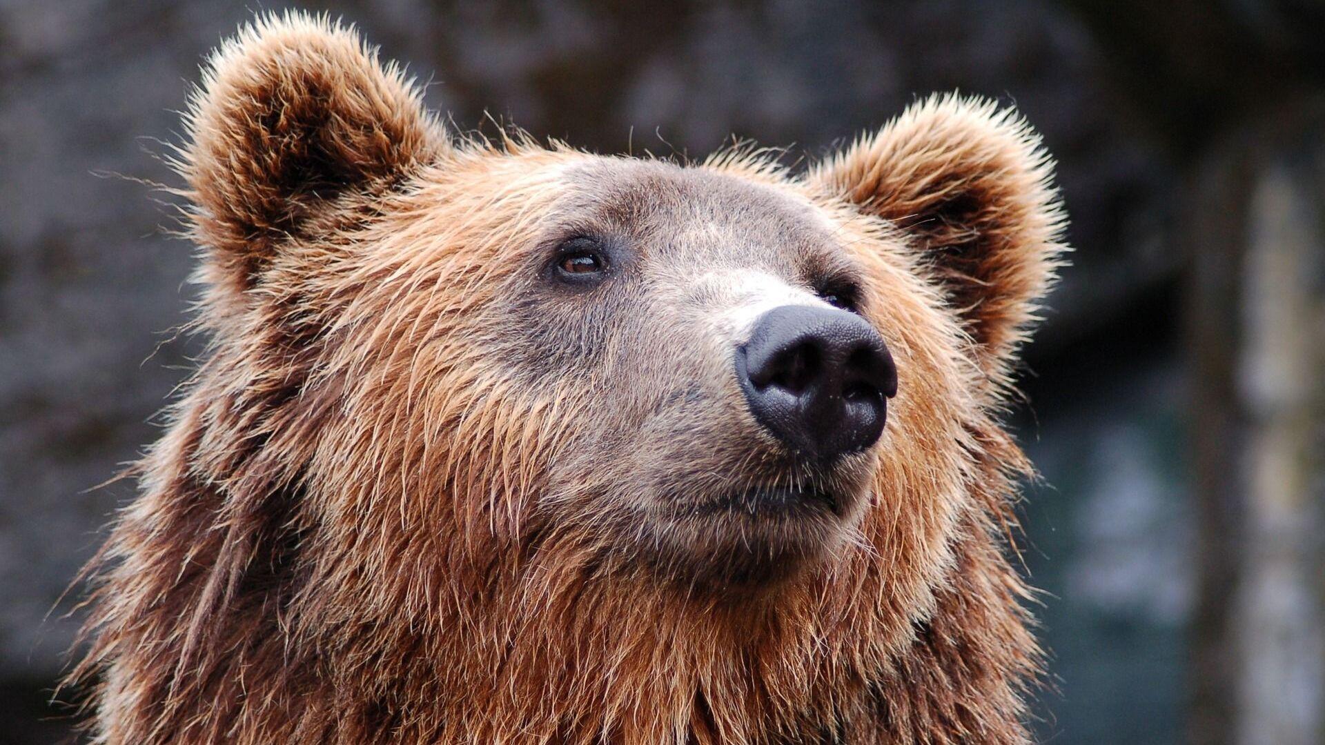 Un oso (archivo) - Sputnik Mundo, 1920, 18.03.2021