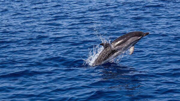 Un delfín (imagen referencial) - Sputnik Mundo