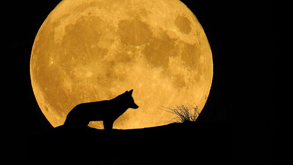 Un lobo frente a la Luna, referencial - Sputnik Mundo