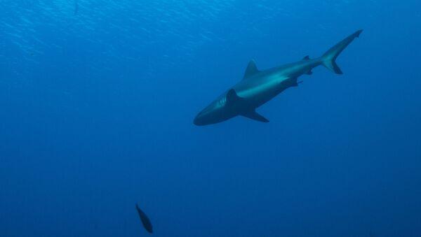 Un tiburón de arrecife de punta blanca - Sputnik Mundo