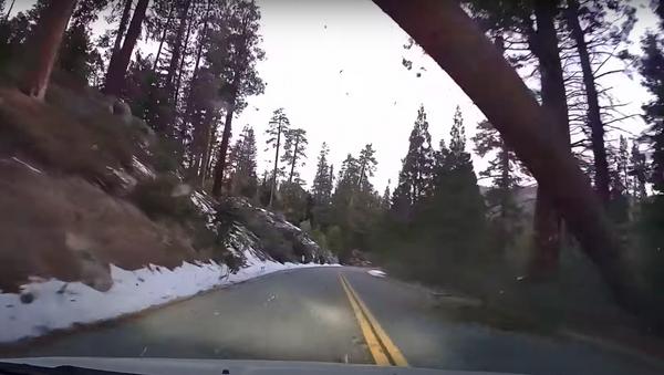 Una secuoya de más de 60 metros cae sobre un automóvil en movimiento - Sputnik Mundo