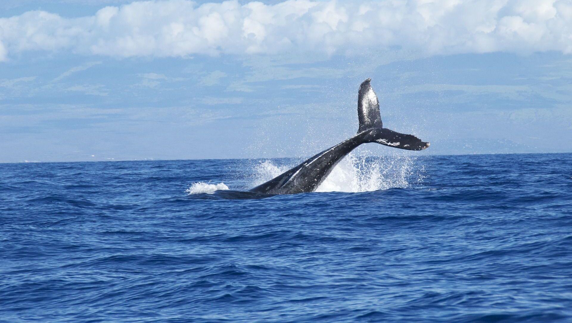 Una ballena (imagen referencial) - Sputnik Mundo, 1920, 05.02.2021