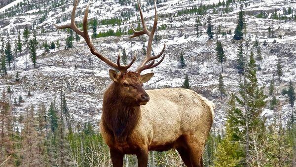 Un ciervo (imagen referencial) - Sputnik Mundo