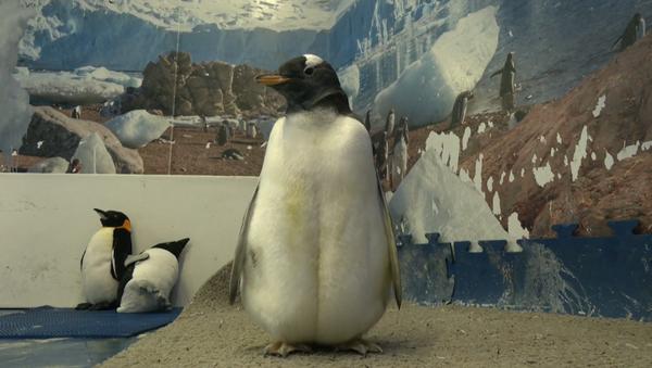 Alex, el primer pingüino antártico nacido en México - Sputnik Mundo