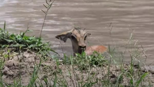 Destino final: un impala escapa de un cocodrilo, pero queda atrapado con un leopardo - Sputnik Mundo