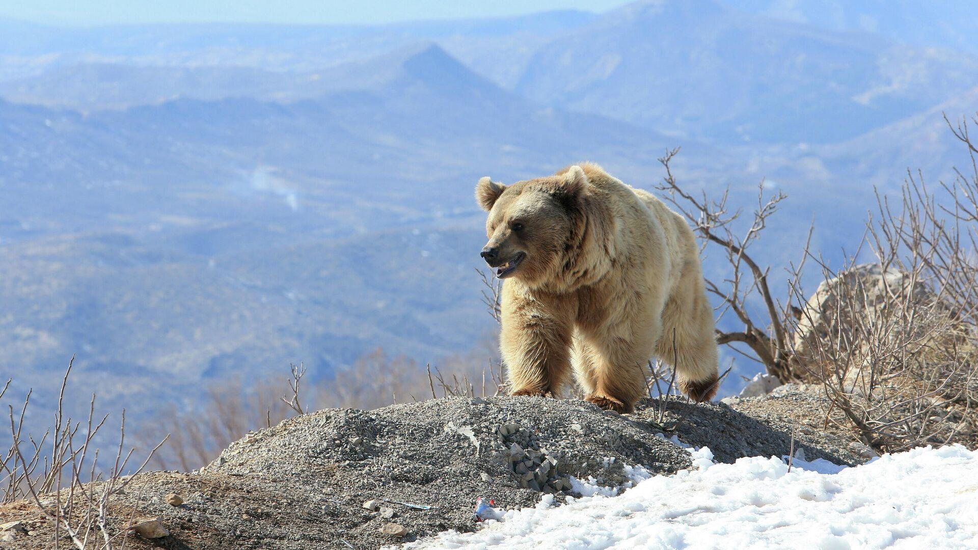 Un oso pardo sirio - Sputnik Mundo, 1920, 13.02.2021