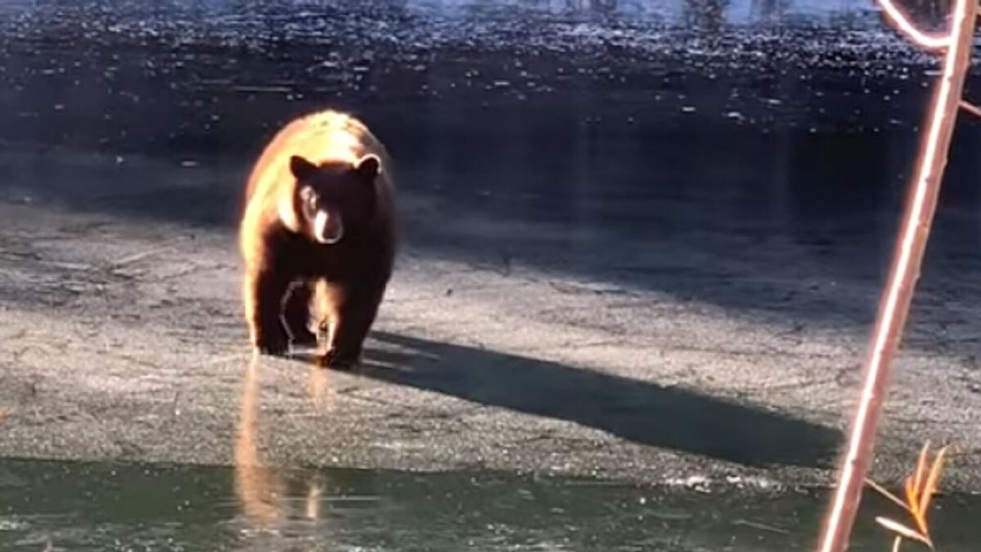 Un oso vive intensos momentos sobre el fino hielo - Sputnik Mundo, 1920, 17.02.2021