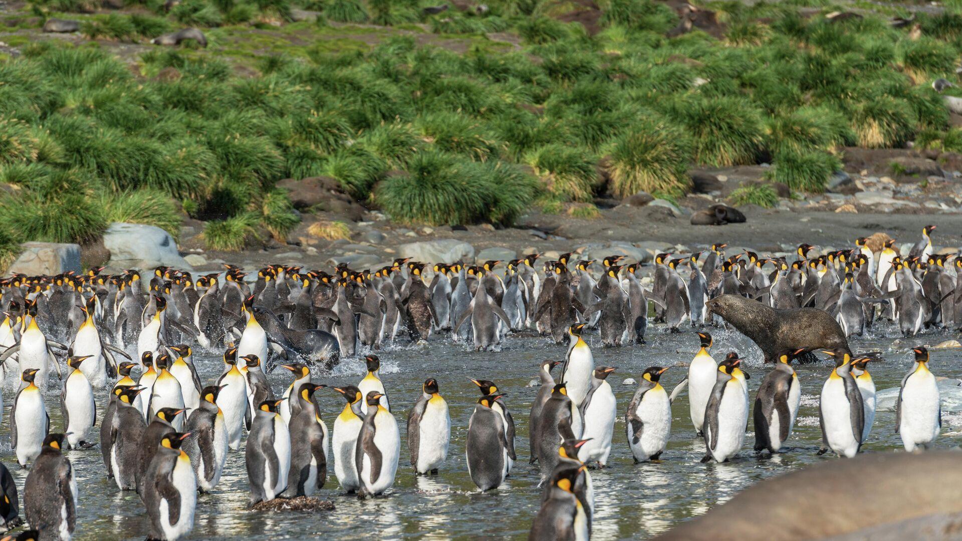 Una colonia de pingüinos rey - Sputnik Mundo, 1920, 21.02.2021