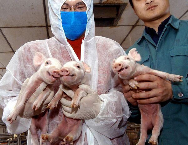 Los primeros cerdos clonados del mundo —Millie, Christa, Alexis, Carrel y Dotcom— debían ayudar a los científicos a obtener órganos para trasplantes humanos. Fisiológicamente, los cerdos son muy parecidos a los humanos; sufren las mismas enfermedades y se recuperan con los mismos medicamentos. - Sputnik Mundo