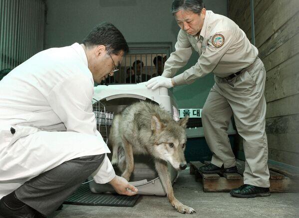 Los científicos surcoreanos clonaron en 2005 dos lobos en peligro de extinción. - Sputnik Mundo