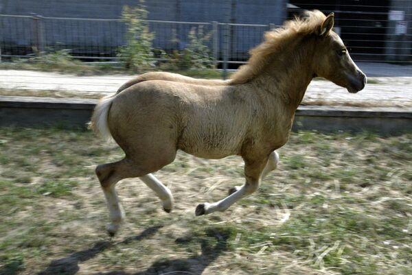 En 2003, el primer caballo clonado, Prometeo, nació en un laboratorio de tecnología reproductiva en Italia. Los científicos hicieron más de 300 intentos antes de conseguir cultivar el clon. - Sputnik Mundo