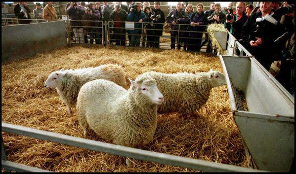 El primer animal clonado fue la famosa oveja Dolly, en 1996. El experimento se calificó como un gran avance comparable a la división de átomo. Dolly vivió seis años y medio y dio a luz a seis corderos. - Sputnik Mundo