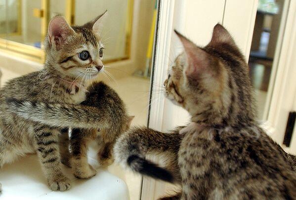 El primer gato clonado del mundo, llamado Copy Cat, nació en el estado norteamericano de Texas en 2001, y al cabo de unos años una empresa de San Francisco empezó a ofrecer copias de mascotas por 50.000 dólares. - Sputnik Mundo