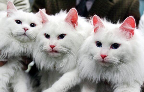 A mediados de la década del 2000, unos científicos surcoreanos clonaron unos gatos con genes alterados responsables de la producción de la proteína fluorescente. Los animales emitían un extraño resplandor bajo la luz ultravioleta. - Sputnik Mundo