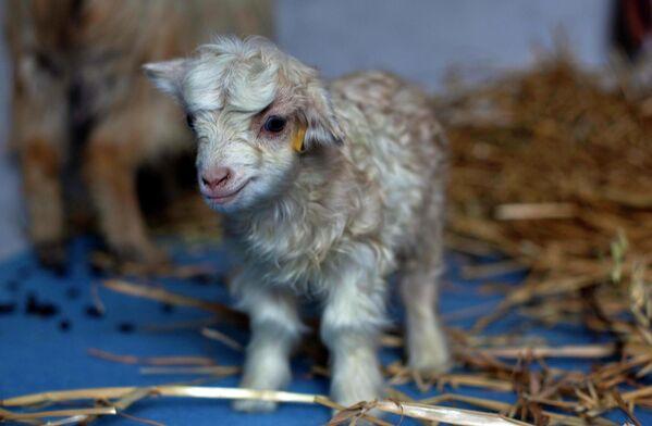 En 2012, los científicos indios consiguieron crear un clon de la rara cabra de pashmina, cuya lana sirve de materia prima para la fabricación del tejido. Se llamó Noori. - Sputnik Mundo