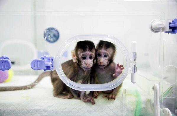 En 2018, los biólogos moleculares de China utilizaron la técnica que se usó para clonar a Dolly y por primera vez hicieron dos copias completas del mismo mono. - Sputnik Mundo